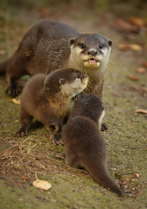 Chester Zoo's Otter Pups Learn to Swim - ZooBorns