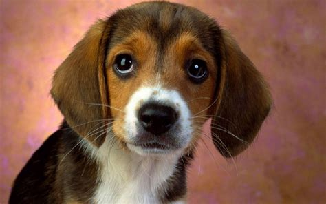 Beagle Puppy Wallpapers - Wallpaper Cave