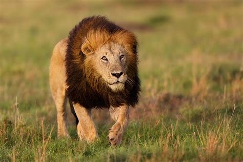 Lions in East Africa - African Wildlife photography