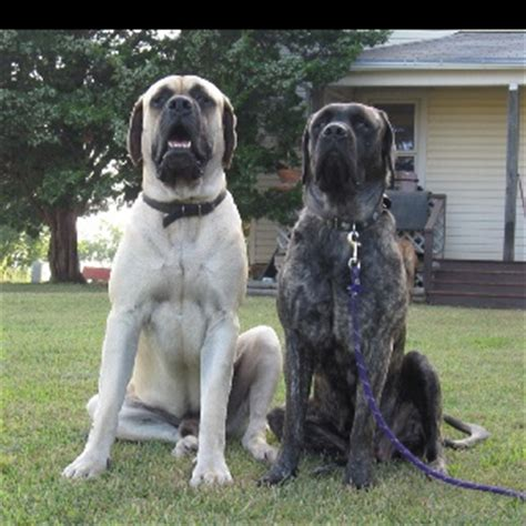 English Mastiffs, so cute :) Almost looks like our pair of