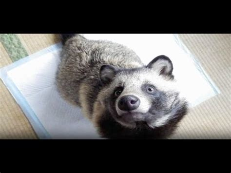 What Is a 'Raccoon Dog'? - YouTube