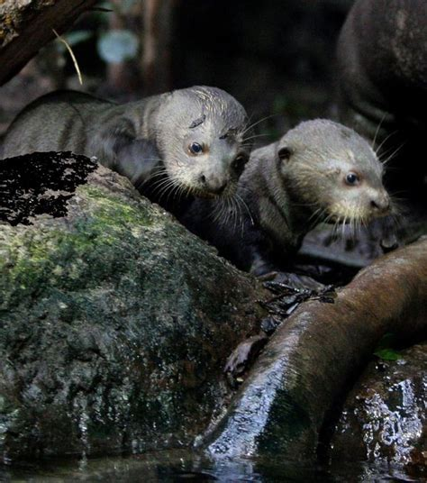 Baby Giant Otter Swimming Lessons! - ZooBorns