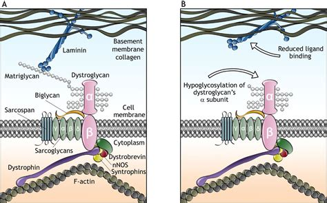 The roles of dystroglycan in the nervous system: insights