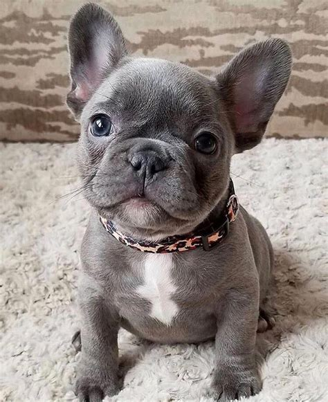 Adorable Blue French Bulldog Puppy #bulldogs | French